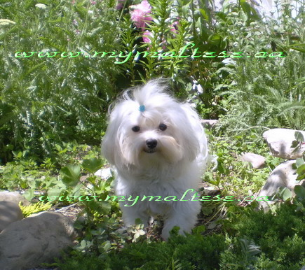 Adult Maltese smiling in the garden