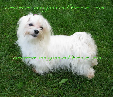 My beautiful Maltese...mymaltese.ca