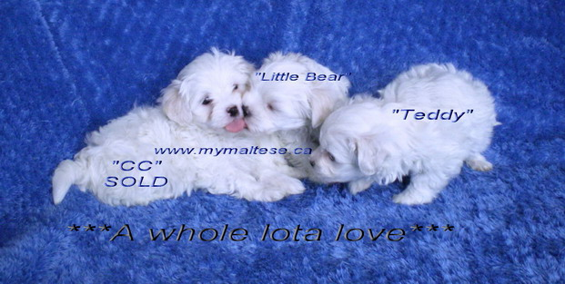 Maltese puppies for children