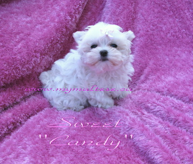 Tiny Maltese female puppy SOLD