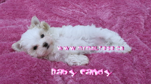 Maltese female puppy