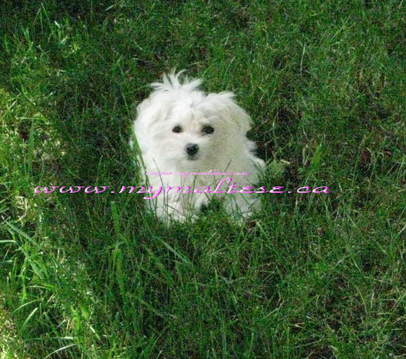 maltese puppies in Toronto