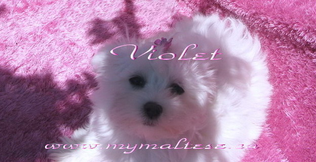 Maltese puppy